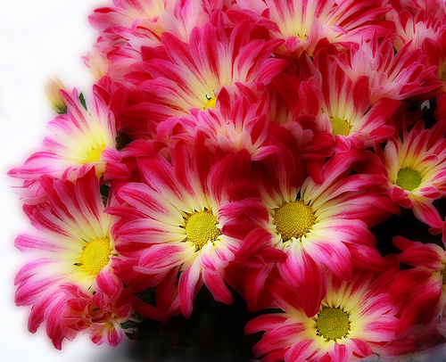 With Love and Cheerfulness, A Chrysanthemum - The November Birth Flower