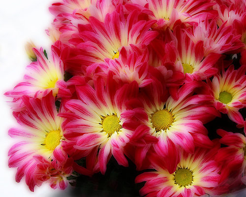 With Love and Cheerfulness, A Chrysanthemum – The November Birth Flower